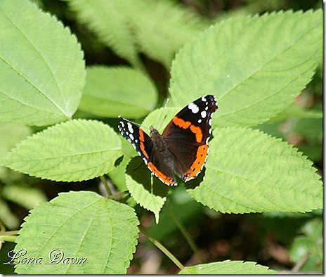 Red_Admiral_butterfly2_SM