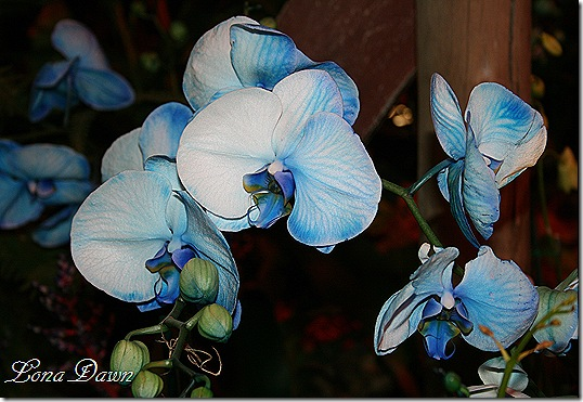 HGS_Orchid_BluePhalaenopsis