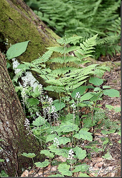 CF_Tiarella_FoamFlower