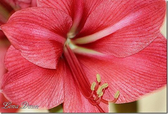 Amaryllis_PeachBlossom1