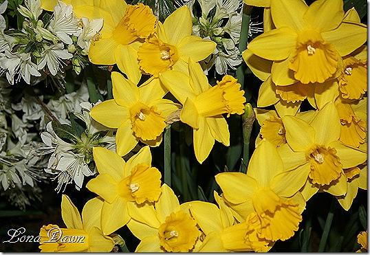 HGS_Daffodils2