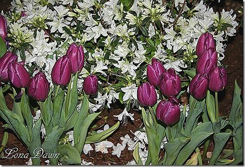 HGS_Azalea_Tulips