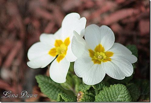 Primrose_White