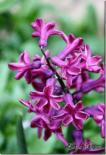 Hyacinth2_April5