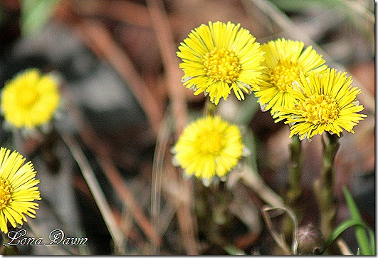 OMC_ColtsFoot