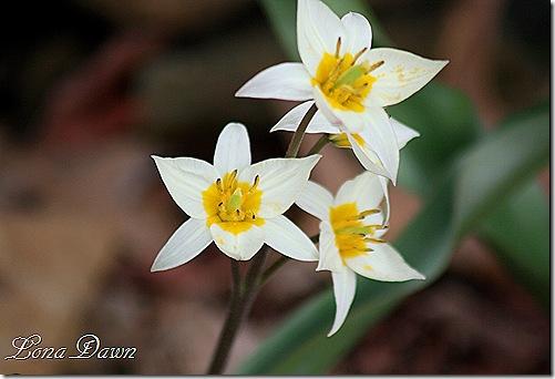 tulipa_turkestanica3