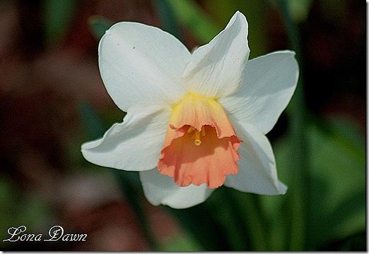Daffodil_Pink2