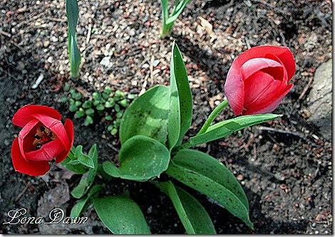 Tulips_Woodland