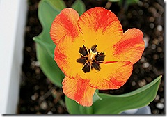 Tulip_Colourmagic_orange