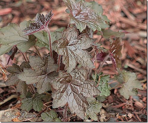 Heuchera_PurplePalace_April23