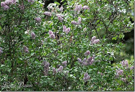 LilacBush