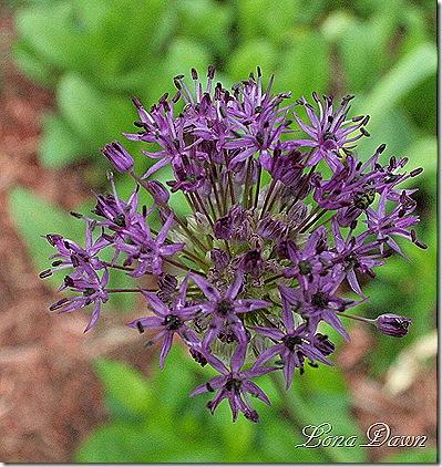 Allium_PSensation