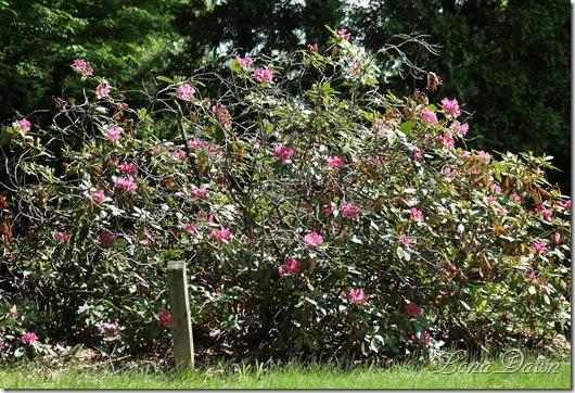 DA_Rhododendron_Garden2