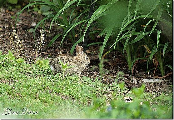 DA_Rabbit