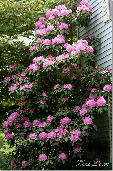 Rhododendron_PJM2_May22