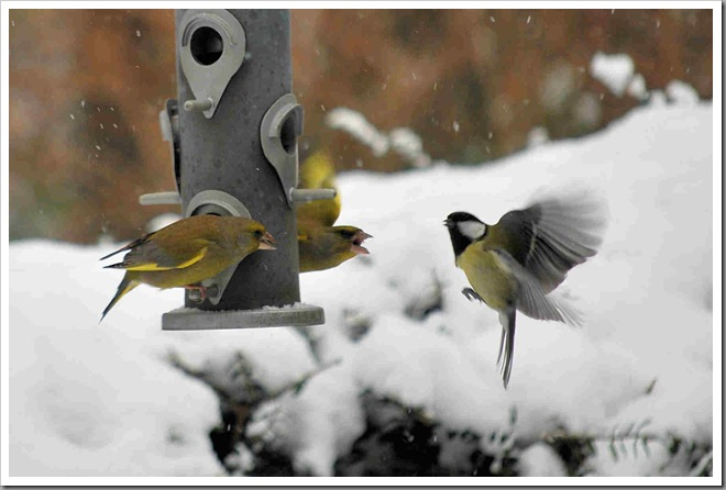 Greenfinches fighting off great tit
