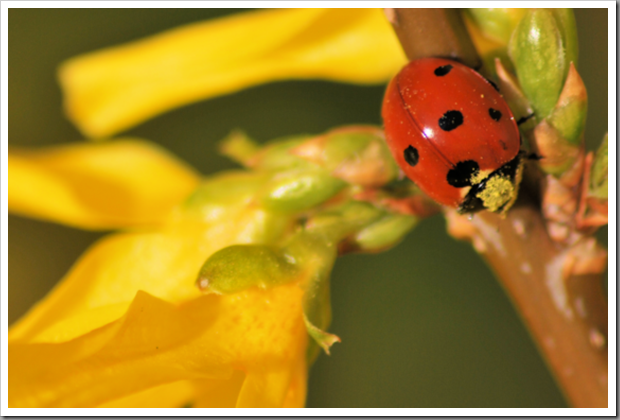 Ladybird on forsythia