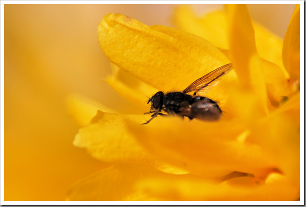 Fly on forsythia