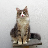 gatita bosques de noruega disponible