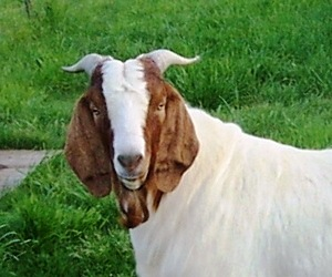Healthy Goat Milk