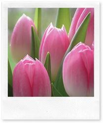 tulips-pink_lg