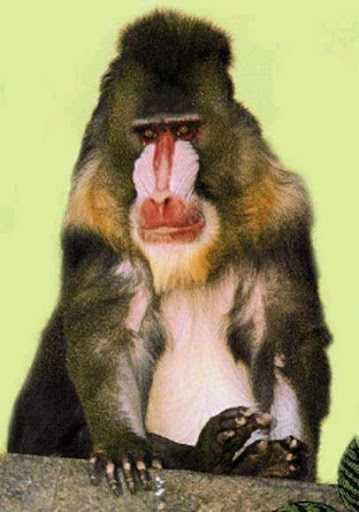 Mona Guenon - Most Expensive(funniest area)