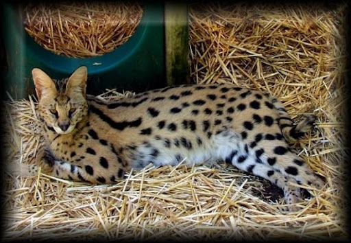 Savannah Cat - Most Expensive(funniest area)