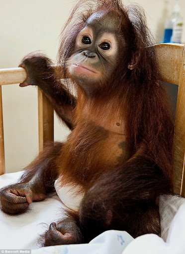 World's Only Orangutang Hospital