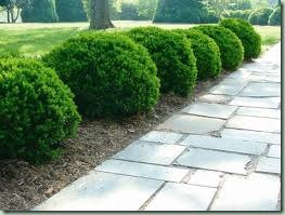shrub_boxwood via happy at home