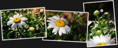 View daisy