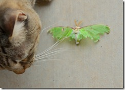 sterlie moth