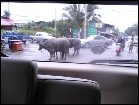 bulls in the street