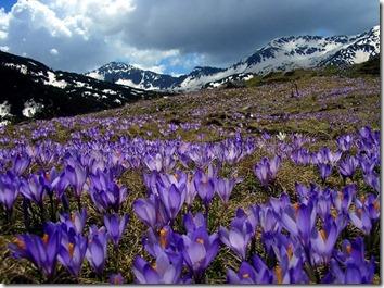 Amazing_Purple_Flowers_13