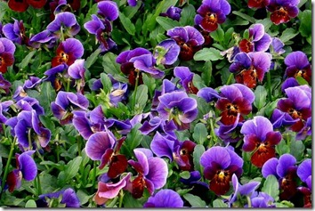 Amazing_Purple_Flowers_16