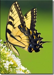 Tiger-Swallowtail-Butterfly