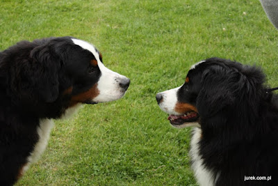 Psy rasowe.
