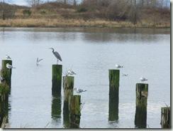 Steveston birds