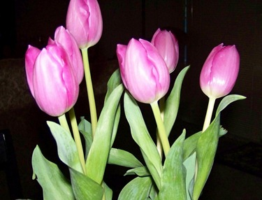 Pink Tulips from John
