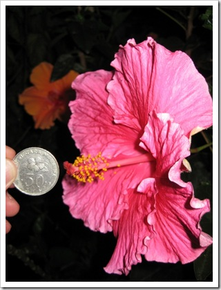 Large-Size-Hibiscus