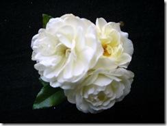 roses 08 (1)