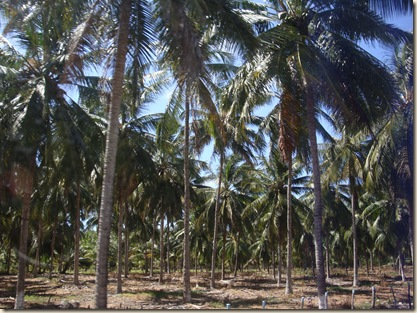 coconut farm