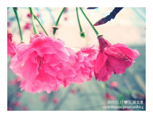 櫻花﹍安北宮