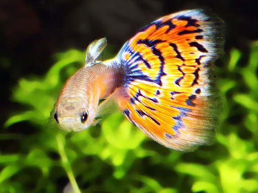 Beautiful ornamental fish is guppy the result of genetic for Ornamental fish