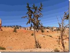 Bottle Brush Tree 1600 years old