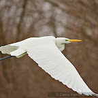 Winter-Photography_Great_Egret