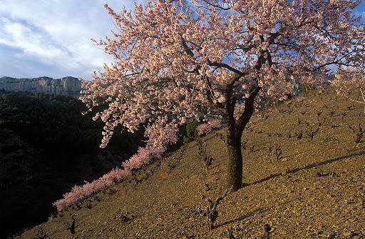 Vinya de coster de llicorellai ametller florit, al fons la serra Major del Montsant, DOQ Priorat La Morera de Montsant, Priorat, Tarragona 2002.02