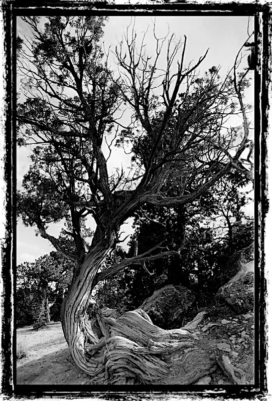 Grand Canyon Tree in the style of Ansel Adams