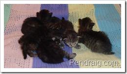 Image of Siberian kittens.