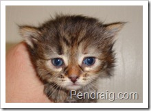 Photo of brown torbie siberian kitten.