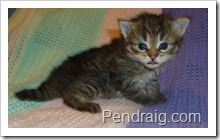 Image of warm brown torbie Siberian kitten.
